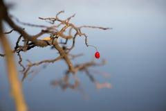 秋天的前个灌木莓果 图库摄影