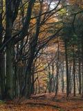秋天的山毛榉森林 免版税库存照片