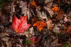 秋天的汇集离开与一片红槭叶子 免版税库存图片