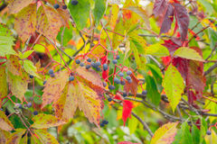 秋天的油漆 狂放的葡萄美丽的多彩多姿的叶子  秋天乡情 库存图片