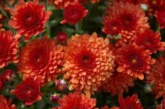 秋天的红色妈咪 库存图片