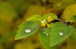 秋天的金刚石雨珠染黄了叶子 免版税库存照片