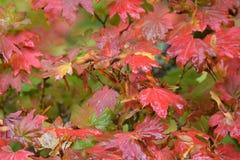 从秋天的雨水滴上色了叶子 免版税图库摄影