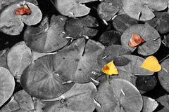 秋天的顶视图图象在池塘,有选择性的颜色生叶 库存图片