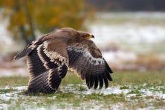 秋天的结尾与鸟和雪的 与橙色秋天森林橙色秋天场面的老鹰与鸷 面孔飞行干草原老鹰 免版税图库摄影