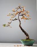 秋天盆景树 图库摄影