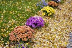 秋天盆的菊花在一个后院庭院里 免版税库存图片