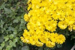 秋天盆的菊花在一个后院庭院里 免版税图库摄影