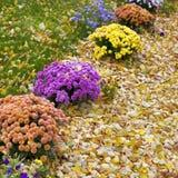 秋天盆的菊花在一个后院庭院里 免版税库存照片