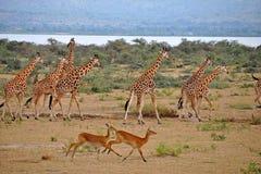 秋天瞪羚长颈鹿murchison运行ugan 库存图片