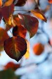 秋天秀丽叶子 库存图片