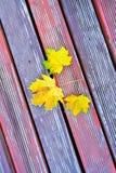 秋天秋叶金黄槭树黄色 免版税图库摄影
