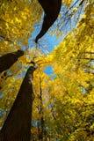 秋天秋天上色槭树黄色叶子 免版税库存照片