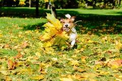 秋天秋天与槭树的贺卡的概念留下花束 库存图片
