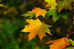 秋天秋天事假槭树黄色 免版税库存照片