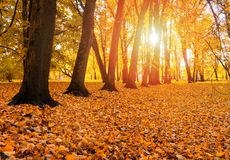 秋天秋天公园风景视图日落的 秋天树行与下落的干燥叶子的 库存图片