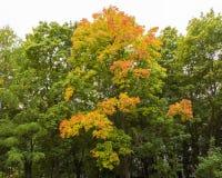 秋天秋天树在有棕色分支和橙黄红色绿色叶子的森林里在一个晴天室外背景图象的公园 免版税库存图片