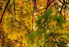 秋天秋天树在有棕色分支和橙黄绿色叶子的森林里在一个晴天室外背景图象的公园从 免版税库存照片