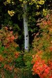 秋天秋天树桦树槭树森林  免版税库存图片