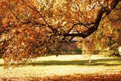 秋天秋天橙树在公园 免版税库存照片