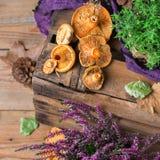 秋天秋天装饰欢乐感恩背景用乳状番红花采蘑菇 图库摄影
