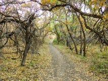 秋天秋天远足通过在罗斯峡谷黄色叉子和大岩石足迹的树的森林视图在Wasatc的Oquirrh山 免版税库存图片
