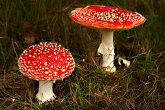 秋天秋天飞行蘑菇伞菌 图库摄影