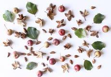 秋天称呼了植物的安排 小的苹果和山毛榉坚果的构成在白色桌背景 秋天装饰concep 免版税库存图片