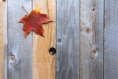 秋天糖槭在木背景的树叶子 免版税库存图片