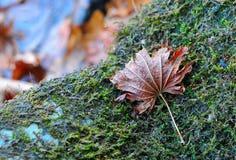 秋天红槭叶子在与绿色青苔的石头说谎 库存照片