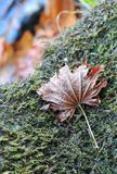 秋天红槭叶子在与绿色青苔的石头说谎 库存图片