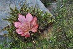秋天红槭叶子在与绿色青苔的石头说谎 图库摄影