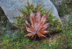 秋天红槭叶子在与绿色青苔的石头说谎 免版税图库摄影