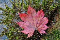 秋天红槭叶子在与绿色青苔的石头说谎 免版税库存照片