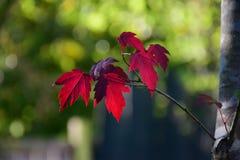 秋天红槭叶子 库存图片