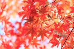 秋天红槭离开背景 免版税图库摄影