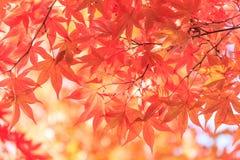 秋天红槭离开背景 库存照片