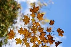 秋天红色、金子和黄色槭树离开反对被弄脏的蓝天背景 免版税库存图片