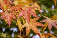 秋天红色、黄色、金子和绿色叶子胶皮糖香树styraciflua,琥珀色的树 叶子特写镜头  免版税库存图片