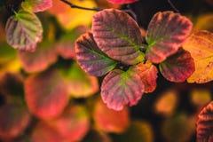 秋天红色叶子关闭有黑暗的背景 库存图片