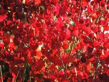 秋天红色叶子和分支,季节:秋天 库存图片