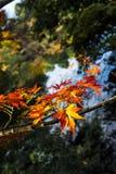 秋天红色叶子 图库摄影