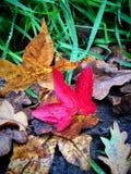 秋天红色和棕色美国梧桐和橡木叶子 免版税库存照片