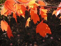 秋天红色由后照的火热的叶子 免版税库存图片