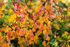 秋天红色留下秋天灌木 免版税库存照片