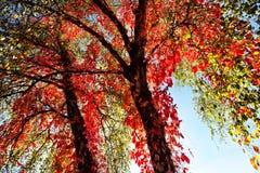 秋天红色结构树 免版税库存图片