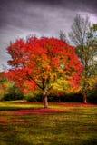 秋天红色结构树 免版税库存照片