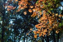 秋天红色花揪在绿色自然背景离开 库存图片