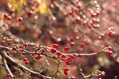 秋天红色莓果分支 免版税库存图片