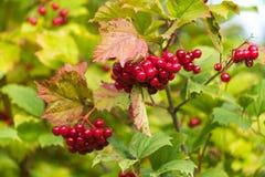 秋天红色莓果成熟 免版税库存照片
